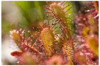 La terrible plante carnivore Droséra